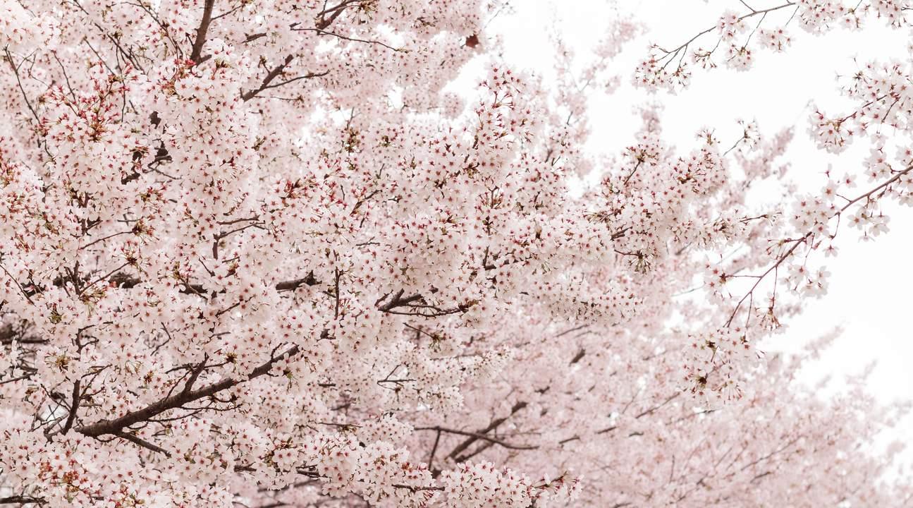 Cherry Blossoms Jinhae